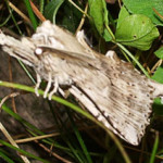 Pale Prominent, photographed 17 June 2006 by B Crowley