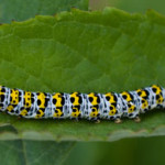 Mullein moth larva, photographed 18 June 2006 by B Crowley