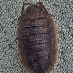 Porcellio Scaber, photographed 30 April 2005 by B Crowley