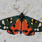 Scarlet Tiger Moth (Callimorpha dominula) photogtaphed 29/30 June 2009 by B Crowley