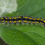 Scarlet Tiger moth larva, photographed 22 April 2007 by B Crowley