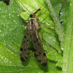 Scorpion fly, photographed 03 June 2006 by B Crowley