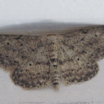 Small dusty wave (Idaea seriata) photographed 21 June 2006 by B Crowley