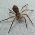 Pirate spider, photographed 24 April 2005 by B Crowley, ID by S Gregory