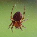 Orb web spider, photographed 12 July 2005 by B Crowley