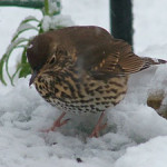 Song Thrush (Turdus philomelos) photographed 6 February 2009 by S Calvert-Fisher