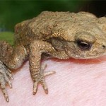 Common toad, photographed 17 July 2005 by B Crowley
