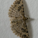 Twenty-plume moth (Alucita hexadactyla) photographed 12 April 2009 by B Crowley