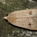 Yellow underwing, photographed 03 September by B Crowley