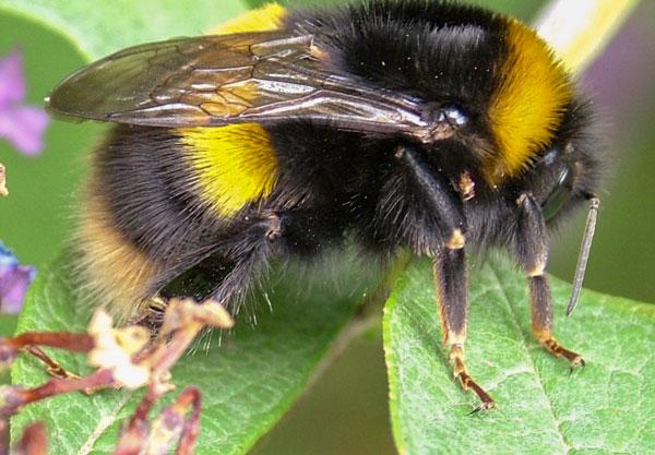 20090731_DSCF7438_buff_tailed_bumblebee