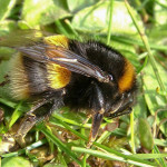 Buff-tailed Bumblebee (Bombus terrestris) photographed 10 April 2010 by S Calvert-Fisher