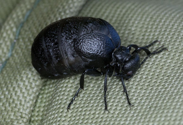 Rugged Oil Beetle (Meloe Rugosus) photographed 01 January 2013 by B Crowley