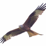 Red Kite (Milvus milvus) photographed 05 May 2014 by B Crowley