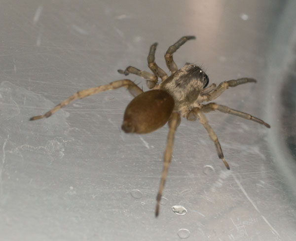 Clubiona terrestris - a sac spider, photographed 18 May 2014 by B Crowley