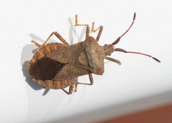 Dock Bug (Coreus marginatus) photographed 18 May 2014 by B Crowley