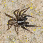 Common Fox Spider (Alopecosa pulverulenta) photographed 18 May 2014 by B Crowley