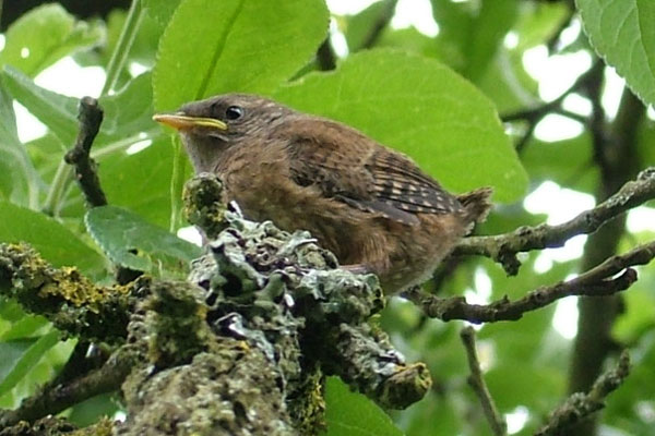 Wren (Troglodytes troglodytes) juvenile, photographed 24 May 2014 by S Calvert Fisher
