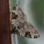 Garden Carpet (Xanthorhoe fluctuata f. Thules) photographed 14 June 2014 by B Crowley