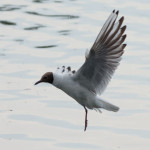 Black-headed Gull (Larus ridibundus) photographed 22 June 2014 by B Crowley