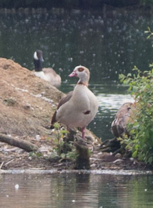 Egyptian Goose (Alopochen aegyptiacus) photographed on Thrupp Lake, 22 June 2014 by B Crowley
