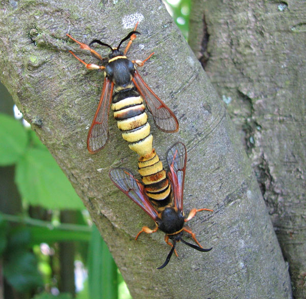 Mating Lunar Hornet Moths (Sesia bembeciformis) photographed 30 June 2014 by Bob Eeles