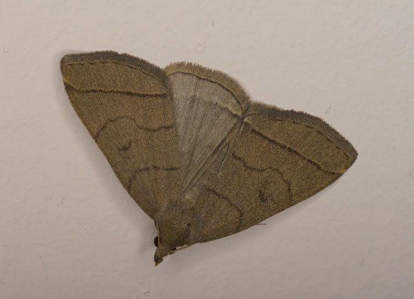 Fan-foot (Zanclognatha tarsipennalis) photographed 04 July 2014 by B Crowley