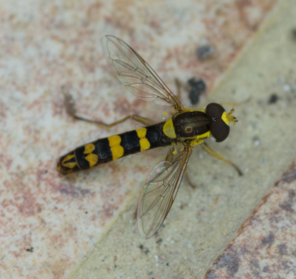 Sphaerophoria scripta - a hoverfly (male) - photographed 12 September 2014 by B Crowley