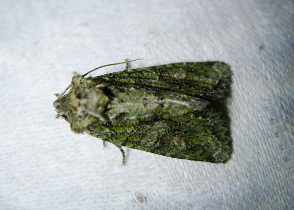 Brindled Green (Dryobotodes eremita) photographed 17/09/2014 by Sue Calvert-Fisher